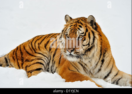 Siberian/Amur tiger (Panthera tigris altaica), captive raised specimen, Bozeman Montana, USA - Stock Photo