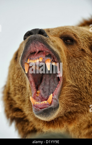 Grizzly bear (Ursus arctos) Snarling, fierce expression, Bozeman, Montana, USA - Stock Photo