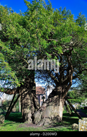 Common yew tree (Taxus baccata) in the churchyard of St Mary and St Peters church, Wilmington village, Sussex, England, - Stock Photo