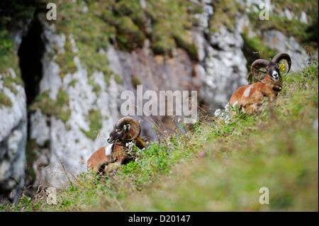 Mouflon, Ovis musimon, Vorderes Sonnwendjoch, Rofan range, Brandenberg Alps, Tyrol, Austria - Stock Photo