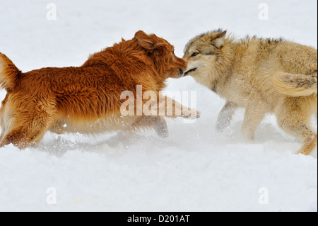 Gray wolf (Canis lupus) interacting with domestic dog Golden retriever (Canis familiaris), captive raised specimen, - Stock Photo