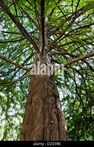 Bald Cypress tree looking upward, Taxodium distichum. - Stock Photo