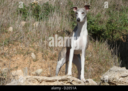 Dog Whippet (English Greyhound Miniature) adult standing on a rock - Stock Photo