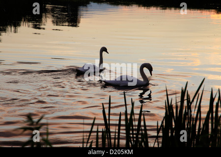 A pair of mute swans on the River Wylye in Wiltshire, England. - Stock Photo