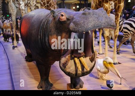 Taxidermied hippopotamus, Grande Galerie de l'Évolution (Great Hall of Evolution), Museum of Natural History, Paris, - Stock Photo