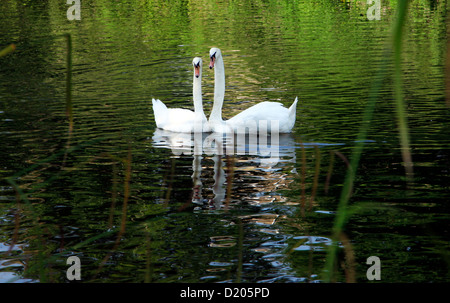 A pair of mute swans on the River Avon at Chiippenham in Wiltshire, England. - Stock Photo