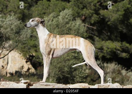 Dog Whippet ( English Greyhound Miniature) adult standard profile - Stock Photo