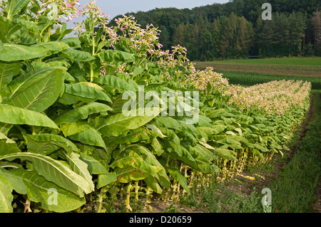 Cultivation of Common Tobacco (Nicotiana tabacum), field on the Swiss Central Plateau, Canton of Zurich, Switzerland - Stock Photo