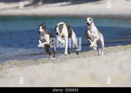 Dog Whippet (English Greyhound Miniature) three adults running on the beach - Stock Photo