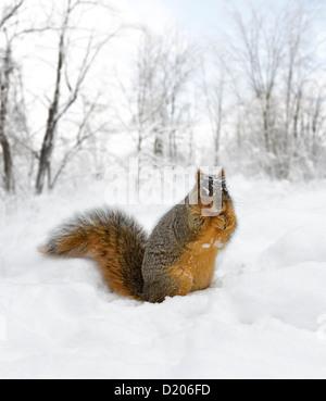Fox Squirrel On The Snow - Stock Photo