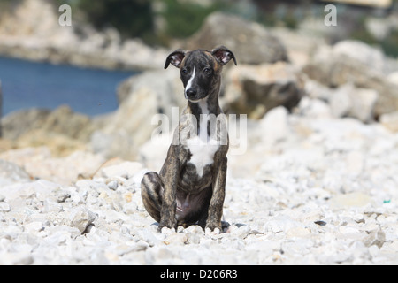 Dog Whippet (English Greyhound Miniature)  puppy sitting on the beach - Stock Photo