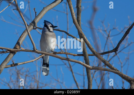 Milford, Michigan - Blue jay (Cyanocitta cristata). - Stock Photo