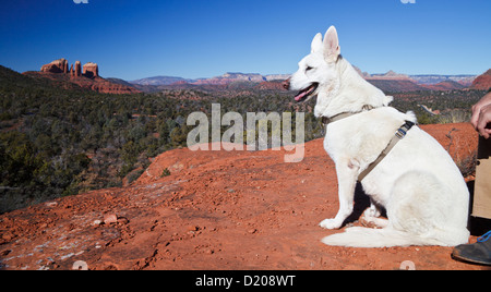 White German Shepherd at Little Bell, with view of Cathedral Rock in Sedona in distance - Stock Photo