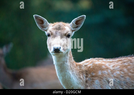 Fallow deer (Dama dama). - Stock Photo