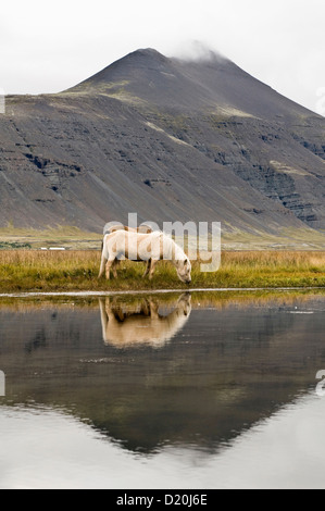 Icelandic horses grazing in a field near Hofn, Iceland, Scandinavia, Europe - Stock Photo