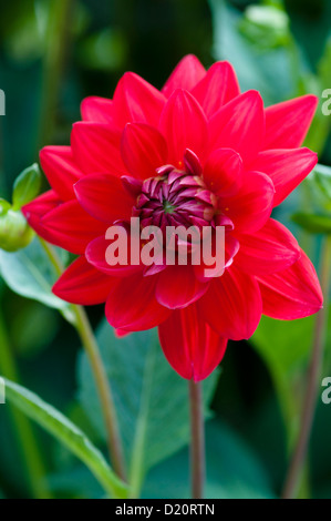 DAHLIA EDWINS SUNSET - Stock Photo