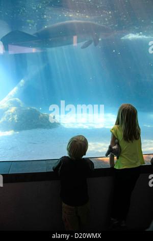 Young children watch Manatee swim at the Sarasota MOTE Aquarium Florida - Stock Photo
