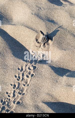 Loggerhead Sea Turtle, hatchling running to the sea, Caretta caretta, lycian coast, Mediterranean Sea, Turkey - Stock Photo