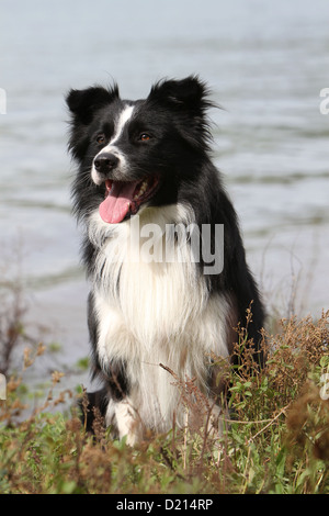 Dog Border Collie adult black and white sitting on the edge of a lake - Stock Photo