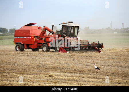 Gomel, Belarus, harvest in an area that was affected by the Chernobyl disaster in 1986 - Stock Photo