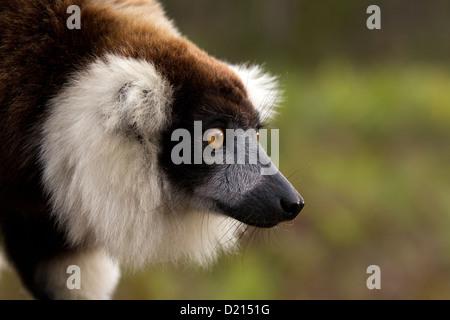 Black and white ruffed lemur, Varecia variegata portrait - Stock Photo