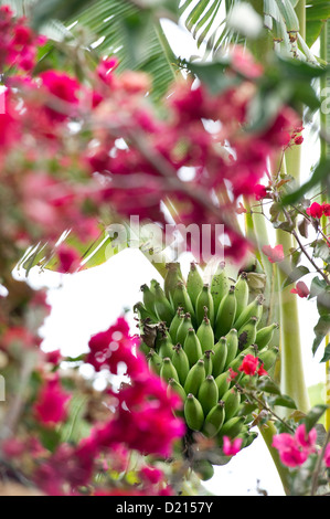 Banana tree and Bougainvillea, Puerto de la Cruz, Tenerife, Canary Islands, Spain, Europe - Stock Photo