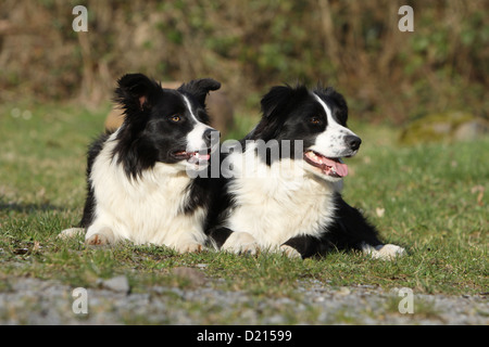Dog Border Collie two adults black and white lying in a meadow - Stock Photo