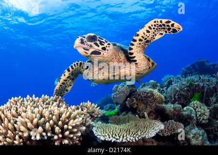 Hawksbill Sea Turtle Eretmochelys imbricata swimming over a Coral Reef, Great Barrier Reef, Coral Sea, Queensland, - Stock Photo
