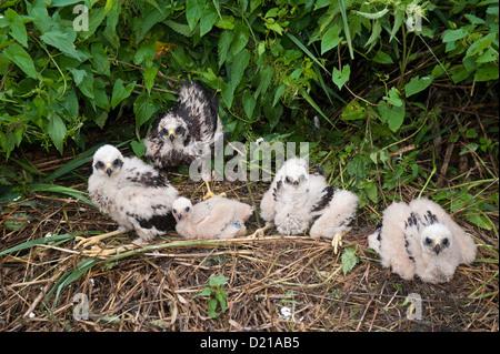 Rohrweihe, Kueken (Circus aeruginosus) Western Marsh Harrier, chicks • Bayern, Deutschland - Stock Photo