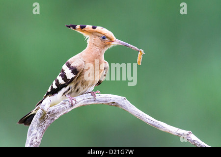 Eurasian hoopoe (Upupa epops) resting on a branch with a freshly caught insect,green background, space to right. - Stock Photo