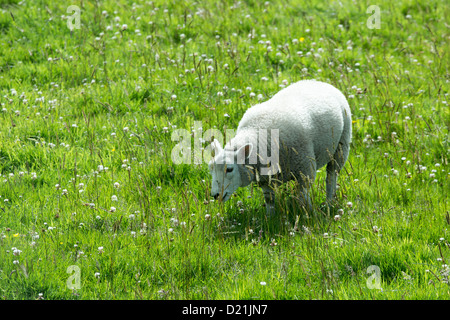 Sheep on meadow, Orkney Islands, Scotland, United Kingdom - Stock Photo