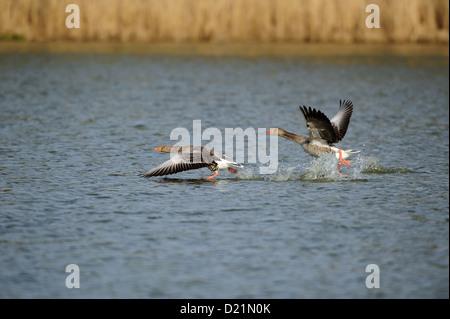 Graugans (Anser anser) Greylag Goose - Stock Photo