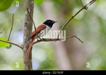 Seychelles Paradise Flycatcher - Stock Photo