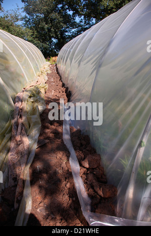 Replacing the polythene cover of a polytunnel - digging in the new sheet along the side of the polytunnel - Stock Photo
