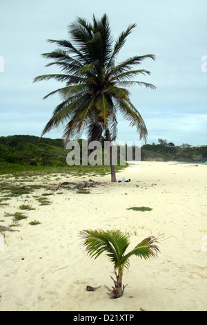 Large palm tree with small young sapling palm tree Barbados