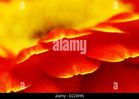 Super macro shot of orange gerbera flower petals - shallow depth of field with focus on the end of petals - Stock Photo
