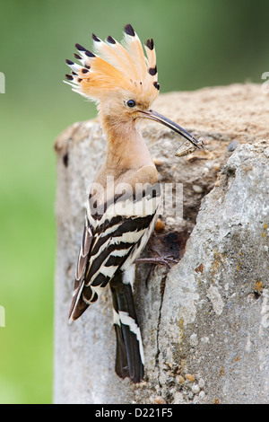 Eurasian hoopoe (Upupa epops) with a freshly caught beatle at the entrance to its nest in an old concrete drum.