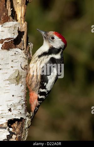 Mittelspecht (Dendrocopos medius, Picoides medius) Middle-spotted Woodpecker • Baden-Wuerttemberg, Deutschland - Stock Photo