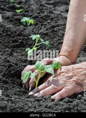 senior woman planting a tomato seedling - Stock Photo