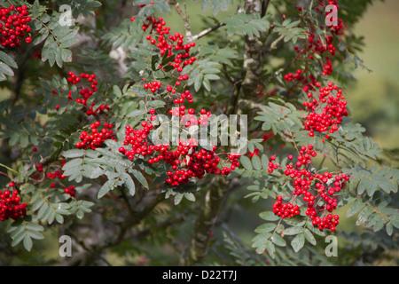Rowan (Sorbus aucuparia) berries.  Also known as Mountain ash. - Stock Photo