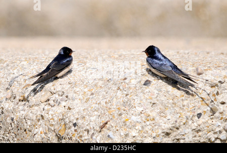 A pair of Barn Swallows (Hirundo rustica) rest on the concrete roof of a second world war gun emplacement. - Stock Photo