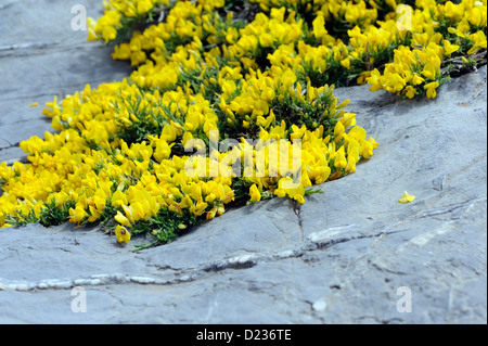 Alpine plants growing in limestone rocks. Fuente De,  Picos de Europa national park. Picos de Europa. Spain - Stock Photo