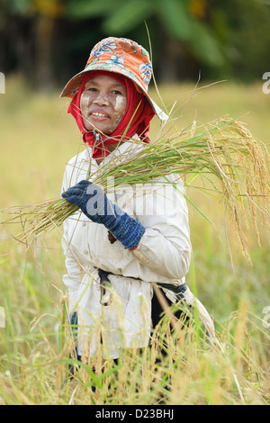 Burmese woman harvesting rice in field, Thailand - Stock Photo