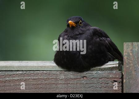 Male Blackbird, Turdus merula, UK - Stock Photo