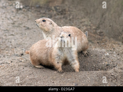 Pair Of Black-Tailed Prairie Dogs, Cynomys ludovicianus. - Stock Photo