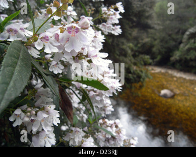 Christmas bush (Bursaria spinosa) flowering beside the Franklin River, near the start of the Frenchman's Cap track, - Stock Photo