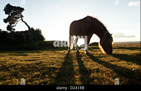 A silhouette of a Dartmoor Pony grazing - Stock Photo