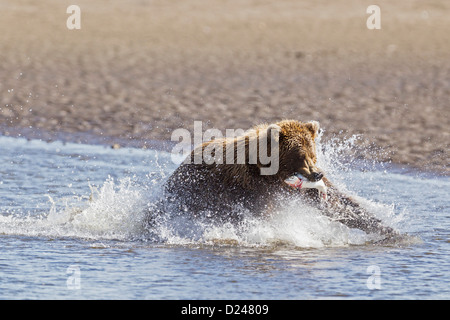 USA, Alaska, Brown bear with caught salmon in Silver Salmon Creek at Lake Clark National Park and Preserve - Stock Photo
