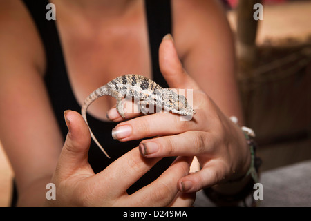 Madagascar, Operation Wallacea, research student with Chameleon Furcifer Angeli on hands - Stock Photo