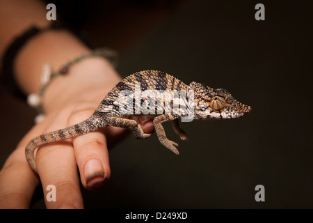 Madagascar, Operation Wallacea student with Chameleon Furcifer Angeli on hand of researcher - Stock Photo